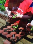 Planting out sunflowers at Milford Pre School Plus.