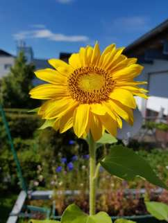 Sunflower in Germany