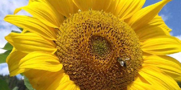 Sunflower in Austria