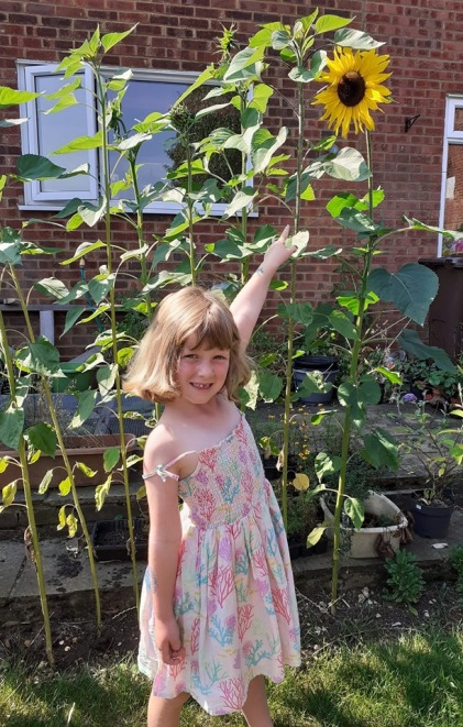 Sunflowers grown in Harpenden during The Big Sunflower Project 2019.