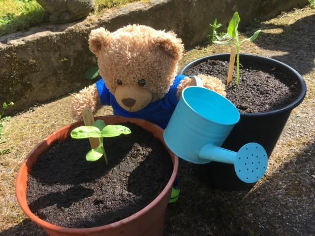 Jade Bear watering sunflowers at Tinsley Meadows Primary School.
