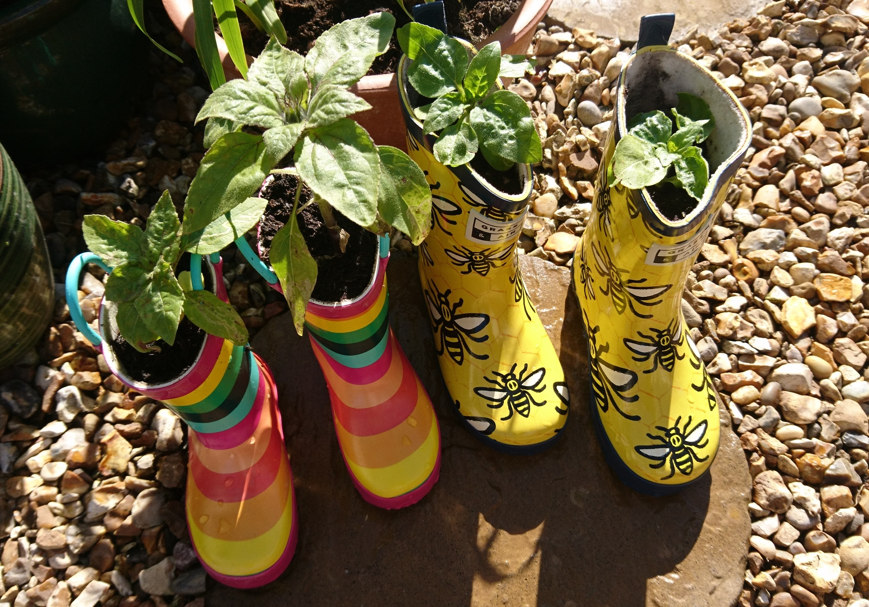 Dwarf sunflowers planted in wellington boots.