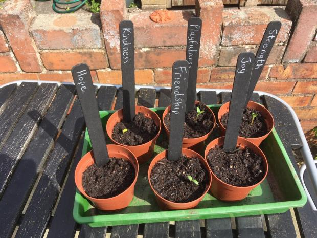 Sunflowers planted at Westminster Primary School, Ellesmere Port.